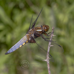 _IMG2736  Broad Bodied Chaser (Pete.L .Hawkins Photography) Tags: broadbodied chaser libellula depressa petehawkins petelhawkinsphotography petelhawkins petehawkinsphotography pentax 100mm macro pentaxpictures pentaxk1 fantasticnature fabulousnature incrediblenature naturephoto wildlifephoto wildlifephotographer naturesfinest unusualcreature naturewatcher insect invertebrate bug 6legs compound eyes creepy crawly uglybug bugeyes fly wings eye veins flyingbug flying