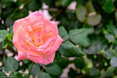 Rose Flower (eliseteshiraishi) Tags: continentedaásia japan landscape roseflower tokyo tóquiocapital caule colorful daytime nature outdoor petals pollen postcard travel urbanlandscape minatoku tōkyōto japão macro flor jardim folha