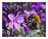 Apidae (Coisroux) Tags: apidae d850 nikond850 wings pollen flora petals 50mmf18 pollination insects portrait action macrocaptures