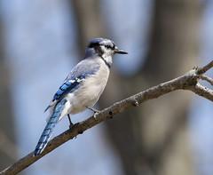 raucous blue flutter (Barbara A. White) Tags: bluejay bird wildlife backyard