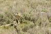Purposeful prance (ChicagoBob46) Tags: coyote yellowstone yellowstonenationalpark nature wildlife coth5 ngc npc