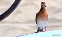 DSC_0555 (RachidH) Tags: birds oiseaux colombe paloma dove picazuro pigeon zenaidadove zenaidaaurita tourterelleàqueuecarrée westindies antilles meadsbay anguilla rachidh nature nationalbirdofanguilla