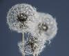 Do not blow!!!! (Greet N.) Tags: dandeleon plant flower overblown seeds nature macro