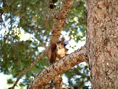 Squirrel, challenging me to get a good picture 02 (cortocircuito81) Tags: squirrel ardilla animales animals