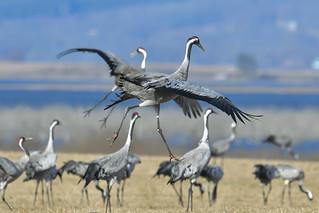 Common crane 2018-04-13_01