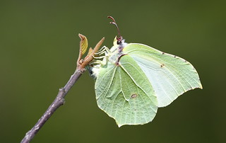 Brimstone (Gonepteryx rhamni)  female