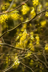 Which Hazel (photoart33) Tags: whichhazel flowers shrubs spring yellow wollertonoldhall