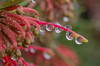 Repeat. (Omygodtom) Tags: red macro wet round tamron flower dof d7100 bokeh water classic plant