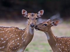 Sri Lanka '17_0508 (Jimmy Vangenechten 76) Tags: geo:lat=841704462 geo:lon=7999405592 geotagged srilanka ceylon asia azië indianocean indische oceaanwildlifeanimaldierwilpattu national parkchitalcheetalaxis axis ceylonensisspotted deeraxis deer axishert cuddling