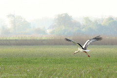 and off we go 2 (photos4dreams) Tags: gersprenz münster hessen germany naturschutz nabu naturschutzgebiet photos4dreams p4d photos4dreamz nature river bach flus natur pur störche storch stork