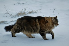 walking walking walking...... (KvikneFoto) Tags: elvis katt cat snø snow winter vinter tamron nikon