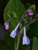 Virginia_Bluebells_252 (McConnell Springs) Tags: virginiabluebells wildflower lexingtonky lexingtonparksrecreation mcconnellspringspark mcconnellsprings springwildflower