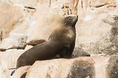 Australian Fur Seal (Baractus) Tags: australian fur seal john oates freycinet national park tasmania australia inala nature tours saffire