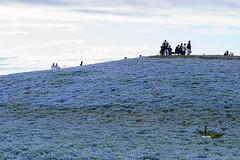 ネモフィラの丘 画像9