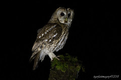 Tawny (Ross Forsyth - tigerfastimagery) Tags: dumfriesgalloway fudgeys nature scotland scottishphotographyhides tawnyowl wild wildlife owl tawny nightime nightshoot noflash