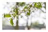 117/365: And rain will make the flowers grow... (judi may) Tags: 365the2018edition 3652018 day117365 27apr18 april2018amonthin30pictures blossom rain raindrops raining arainyday flowers whiteflowers white bokeh dof depthoffield canon5d churchfarmardeley ardeley churchfarm hertfordshire spring springtime