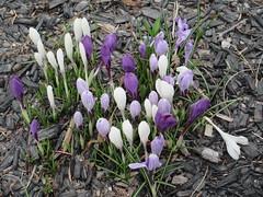 Spring! (jamica1) Tags: flowers purple white peachland okanagan bc british columbia canada crocus crocuses