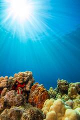 frogfish1Mar29-18 (divindk) Tags: antennariuscommerson camouflage commersonsfrogfish hawaii hawaiianislands malaramp maui places underwater color diverdoug frogfish marine ocean reef sea sunrays sunburst underwaterphotography