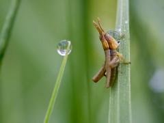 P5050011 (turbok) Tags: heuschreckenorthoptera insekten tiere wasserantieren wassertropfen c kurt krimberger