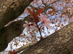 WP_20180403_11_33_07_Raw (vale 83) Tags: blossom microsoft lumia 550 friends coloursplosion colourartaward
