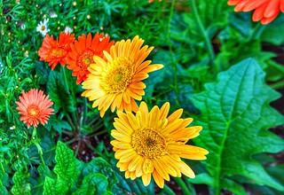 Toronto Ontario - Canada - Allan Gardens Conservatory - Toronto Tropical Garden - Landmark - Transvaal Daisy