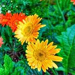 Toronto Ontario - Canada - Allan Gardens Conservatory - Toronto Tropical Garden - Landmark - Transvaal Daisy thumbnail
