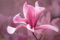 Magnolia Blossom In The Rain (melmark44) Tags: magnolia rain arlingtonstreetchurch boston boylstonstreet magnoliatrees pink dof depthoffield shallow blur raindrops backgroundblur