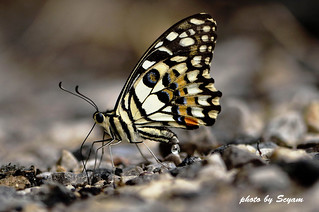Papilio demoleus, Thailand_AGL0047