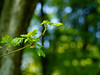 (absoluteforecast) Tags: tree branch bokeh forest balls meike green lush vibrant