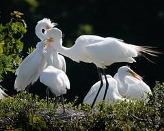 Great Egrets (karenmelody) Tags: animal animals ardeaalba ardeidae bird birds coastaltexas egret egrets greategret highisland pelecaniformes smithoaksrookery texas usa vertebrate vertebrates