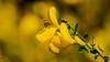 HELLOOOOOOOOOOOO !! (thierrymazel) Tags: flowers genet printemps spring bokeh pdc dof profondeurdechamp jaune yellow macro