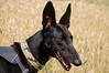 170713 B&I-0119 (whitbywoof) Tags: indi indiana jones rescue pet dog greyhound pharoh chinesemeattrade