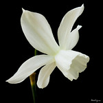 White Daffodil - Jonquille blanche thumbnail