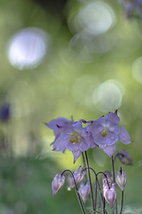 Columbine - Akelei (Of Light & Lenses) Tags: columbine akelei beautyfulflower bokeh bokehlicious green colorful extremebokeh vintagelens vintageprime om zuiko40200mm sonya7rii macromademoiselle fridayflowers violet