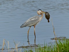 What a Catch! (WRFred) Tags: bird nature wildlife bombayhook delaware heron