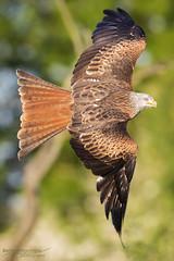 Red Kite (BenSMontgomery) Tags: red kite falconry herrings green farm bedford milvus