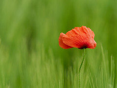 Unwanted but beautiful (Petr Horak) Tags: novýknín středočeskýkraj czechia cze flower macro closeup olympus mft m43 poppies field dof bokeh spring