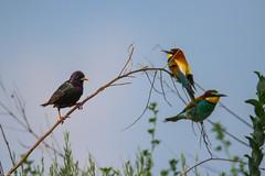 20mai18_05_prigorii prundu 05 cu graur (Valentin Groza) Tags: prigorie prigorii bee eater merops apiaster romania summer bird flight bif birdwatching outdoor