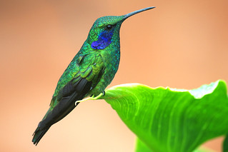 Green Violet-ear (Colibri thalassinus) at Savegre Mt. Lodge, Costa Rica.