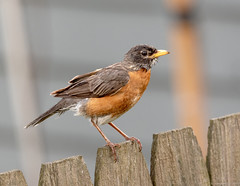 American Robin (piano62) Tags: birds americanrobin urbanwildlife urbannature chicago home rain rainydays nikond750 tamron150600mmg2