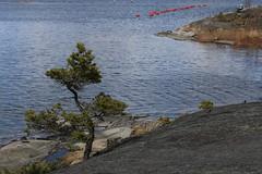 Bonsaish pine (liisatuulia) Tags: lähteelä storasvartö archipelago saaristo porkkala spring