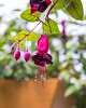 Fuchsia Blossom (s.d.sea) Tags: fuchsia basket hanging spring floral flower flowers plant plants sale grow garden greenhouse green pink bloom blossom blossoms kirkland washington washingtonstate pnw pacificnorthwest pentax k5iis eastside lwtech horticulture