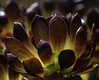Back Lit Succulent Crown (Bill Gracey 18 Million Views) Tags: crown succulent plant nature naturephotography naturallight backlit backlighting garden lakeside color bokeh naturalbeauty macrolens