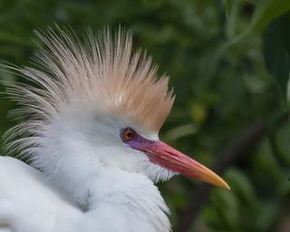 Portrait of a Cattle Egret in Breeding Plumage