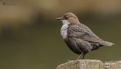 Wasseramsel 2 ( Cinclus cinclus ) (normen.nikon) Tags: d810 nikon 200500 berlebach bird vogel novoflex wasseramsel wildlife fluss nrw