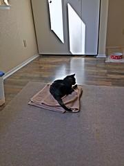 Assam's Towel (sjrankin) Tags: 25april2016 2may2018 edited hdr animal cat assam floor carpet rug sun upstairs california northerncalifornia shinglesprings towel