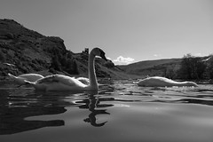 Edinburgh Ponds April 2018 (200 of 228) (Philip Gillespie) Tags: lochend park pond st margaret loch water wet birds swans seagulls pigeons drips drops sky cloud sun sunshine trees bushes leaves branches kite mono monochrome black white colour color green blue yellow red orange flowers door waves ripples reflections grass hill arthur seat low level close up landscape waterscape eyes beaks feathers people man girl ruin chapel church silhouette contra lumiere bench clouds flood rocks roof wire barbed goose splash reeds nature natural forest wood