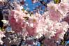 The original (DameBoudicca) Tags: sweden sverige schweden suecia suède svezia スウェーデン cherryblossom sakura kirschblüte 桜 japanischekirschblüte fleursdecerisier fiorediciliegio サクラ körsbärsblomma tree träd 木 baum arbre pink rosa rose ピンク flower blossom blomma blüte flor fiore fleur 花 はな spring vår frühling frühjahr primavera printemps 春 はる