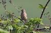 Linnet on blackberry (billywhiz07) Tags: linnet bird uk finch blackberry essex herts