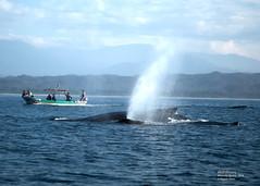 Whale Watching in Mazunte (magdaolson) Tags: mazunte oaxaca whale ocean pacific mar oceano ballena oceanopacifico pacificocean bote lancha